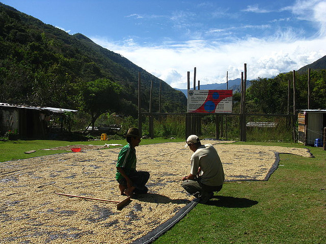 coffee beans drying in Peru