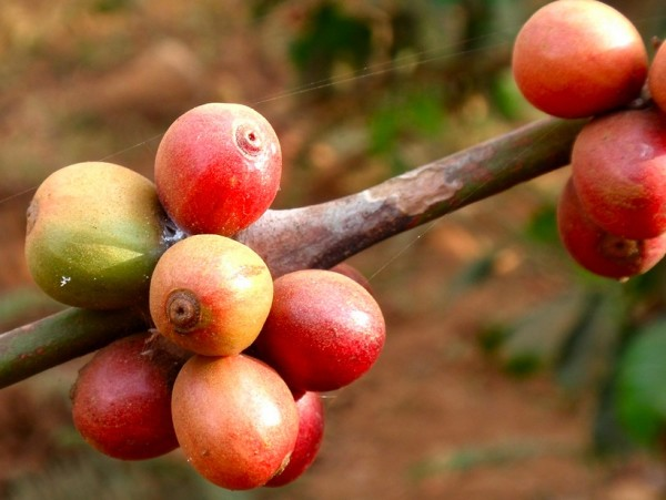 coffee beans on a coffee tree