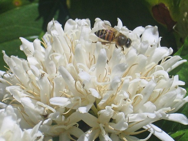 bee pollinating coffee plant