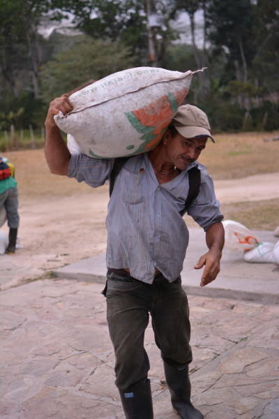 Coffee picker carries coffee cherries to the milling station