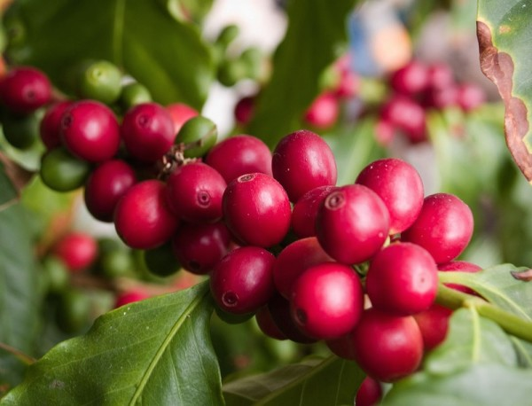 coffee cherries ripe on the plant
