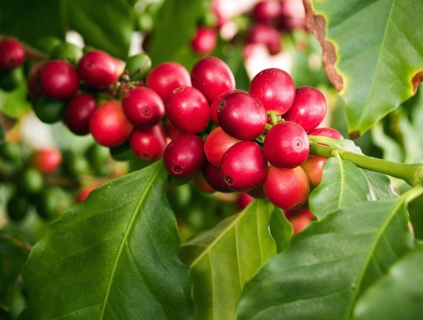 While Highly Toxic Insecticide is Phased Out, Coffee Farmers Struggle to Adapt