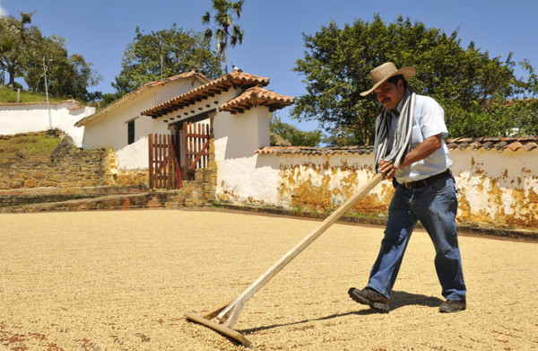 Farmer drying coffee