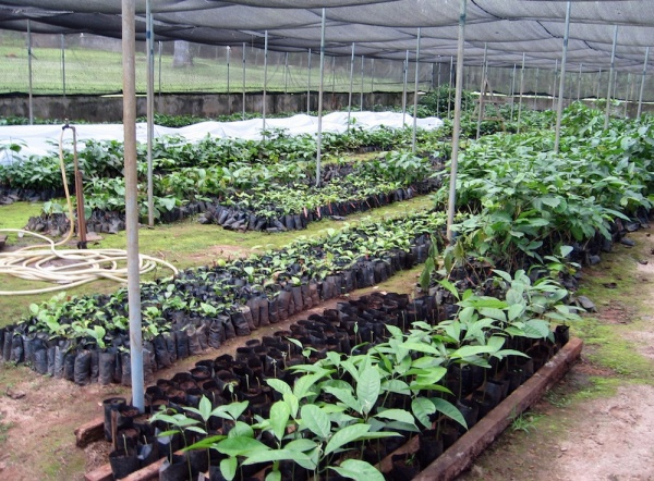 coffee genome seedlings