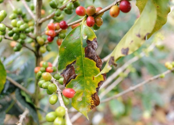 USAID Awards $10 Million to Fight Food Insecurity in Leaf Rust Regions