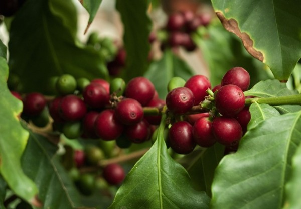 Coffee Trader Volcafe Enters the Growing China Green Market
