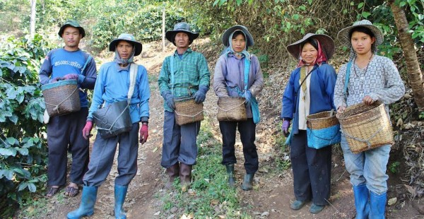 Coffee pickers in the Chiang Rai province of Thailand