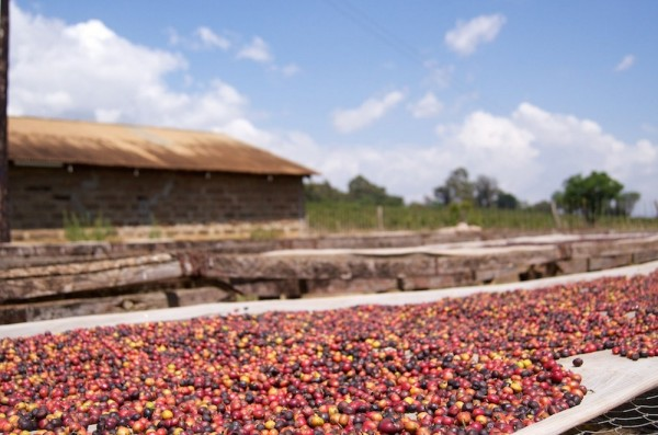 "Kenyan Leaders Unveil National Branding Effort, ""Coffee Kenya Mark of Origin"""