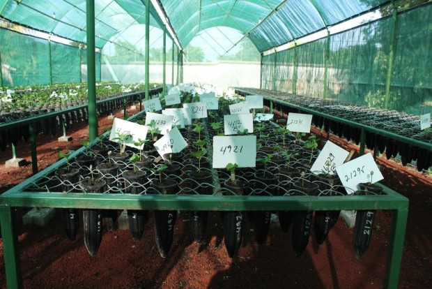 coffee seedlings nursery