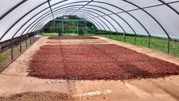 Coffee drying at various stages at the farm. CCM Facebook photo.