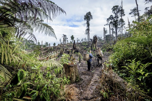 Wife and husband farmers Hasbulah Lubis, 44, (woman) and Rofiqoh Nasution, 35, harvest arabica coffee fruit from their coffee trees on recently deforested land in Pagar Gunung village near Batang Gadis National Park in Mandailing Natal, North Sumatra. © Conservation International/photo by Tory Read
