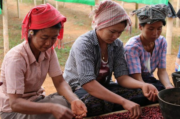 Sorting coffee in Myanmar. Photo by Connie Blumhardt.