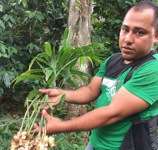 Ginger and turmeric, which can be intercropped with coffee, are proving more profitable than coffee at the ??? cooperative in Nicaragua. Photo courtesy of Catholic Relief Services.