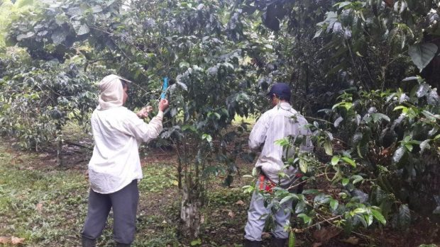 At CATIE, WCR breeders are collecting coffee flowers from one of the trees so that it's pollen can be harvested. The pollen will be painted onto the flower of another tree — the cherry that results from this plant sex will be a new hybrid variety.