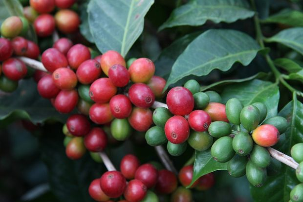 Study Finds Living Wage Gap for Workers in World's Biggest Coffee Region