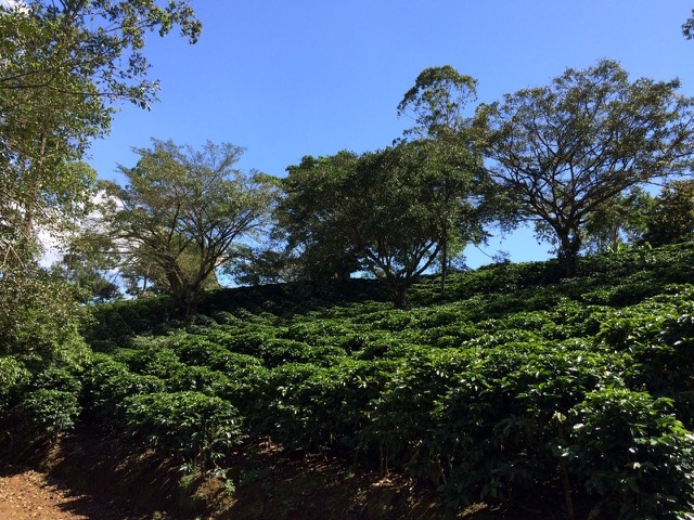 Hacienda Miramonte in Costa Rica. All images courtesy of Willows Coffee.
