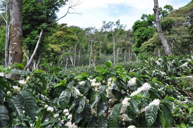 Record Coffee Earns $601 Per Pound at Best of Panama Auction