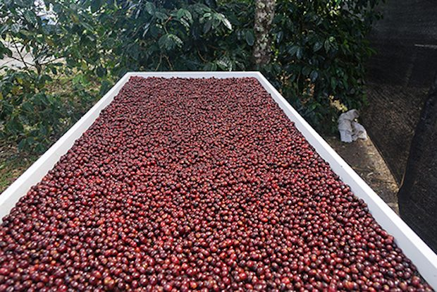 Ninety Plus Panama Coffee Earns $2,273 Per Pound, Described as Evoking 'Erotic Innervation'