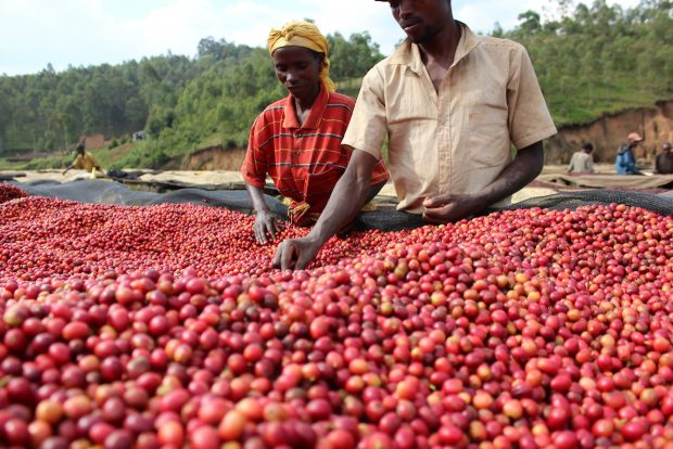 Burundi Coffees Average More than $9 Per Pound at Cup of Excellence