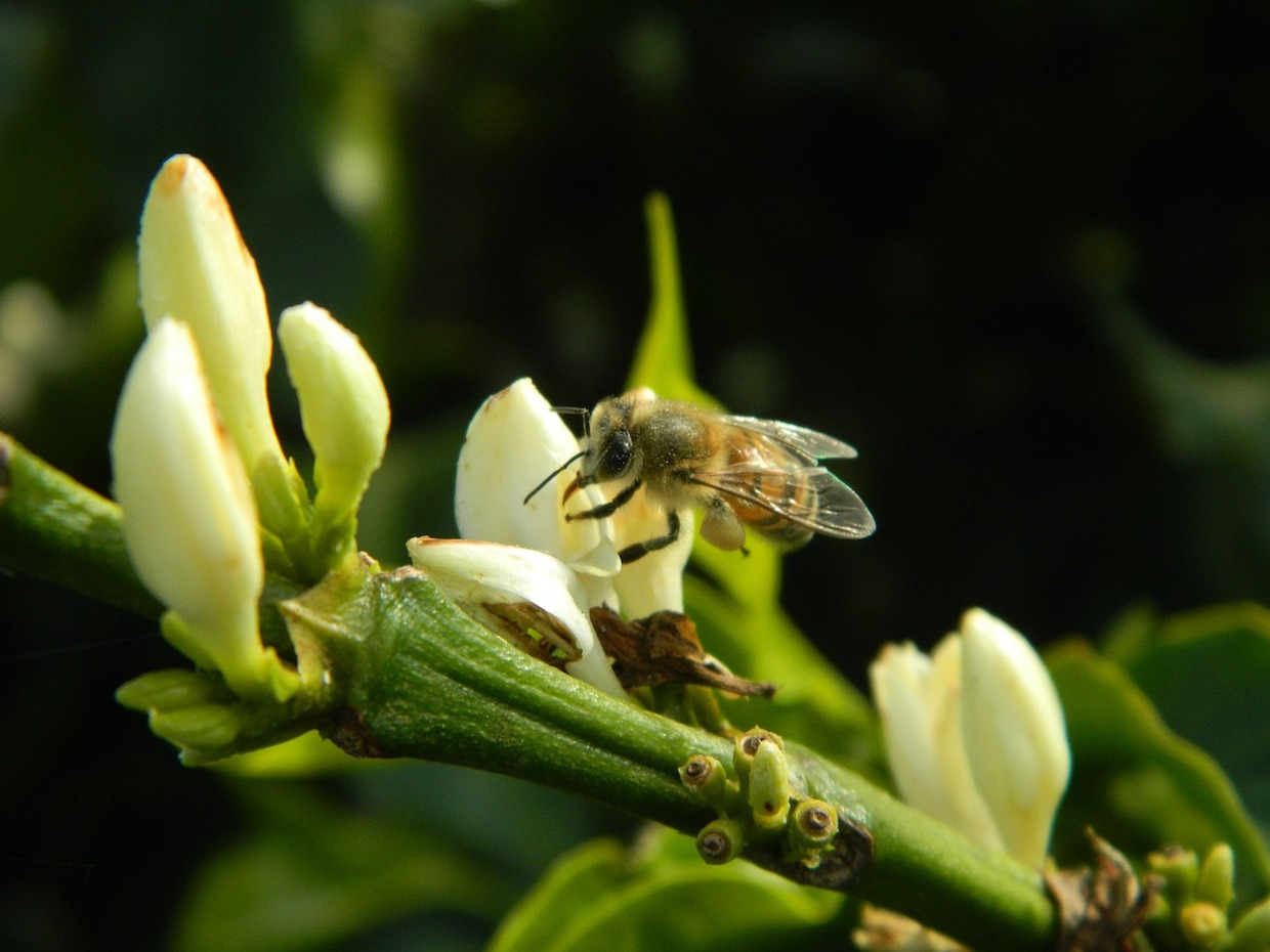 coffee bees climate change forests agriculture pollinators