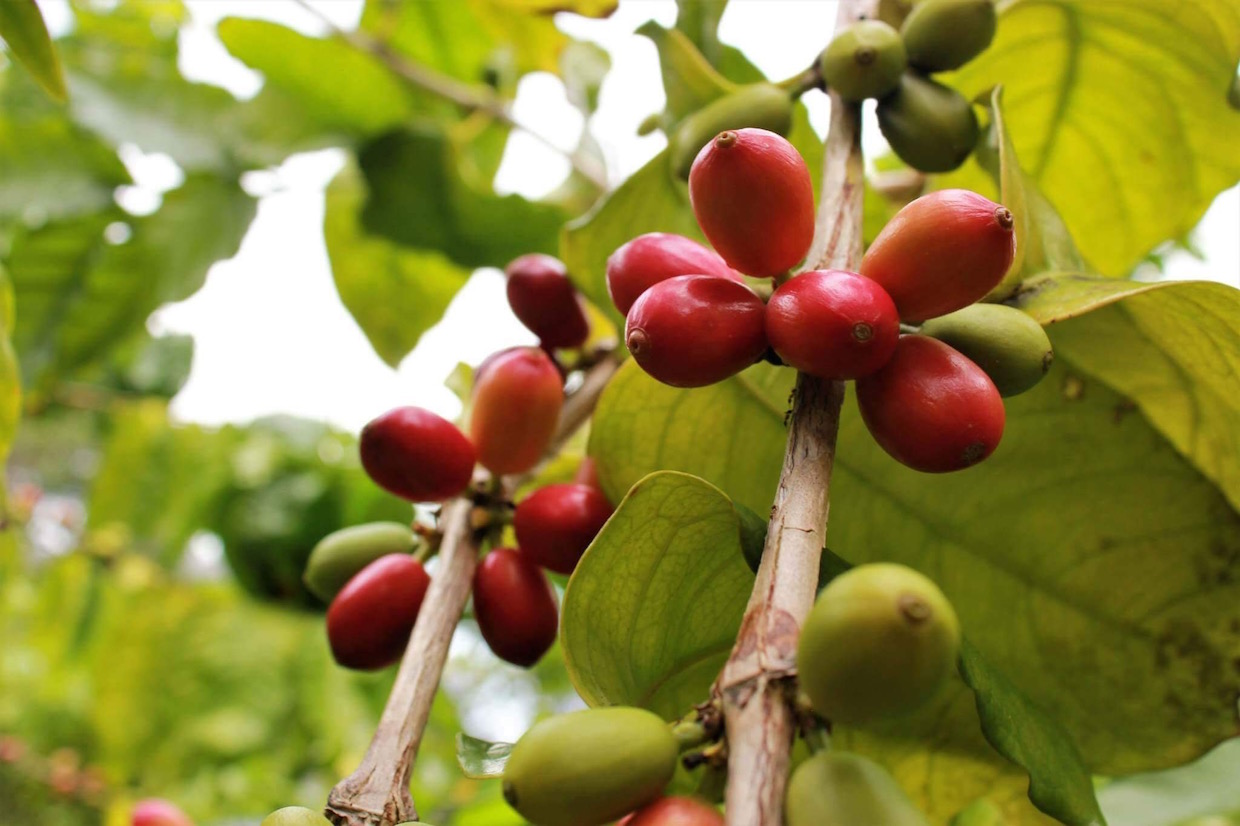 gmos coffee genetic engineering cultivars