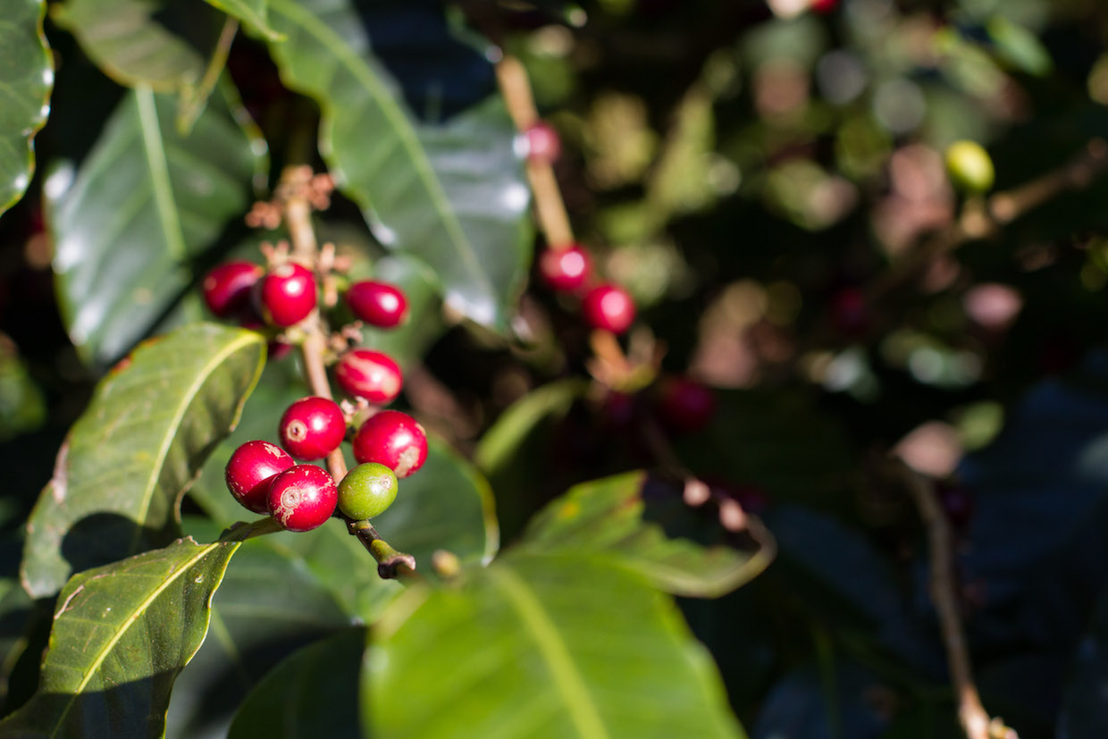 Weathering the Storm: A Coffee Crisis Threatens Farmers Throughout