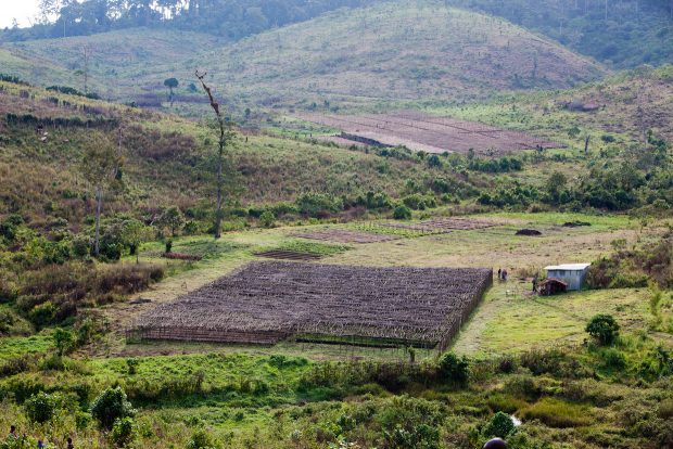 Green Coffee Fetches Record-Breaking $105/lb at Gesha Village Auction