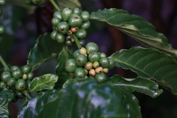 Ranking Certifications: German Rersearchers Create VSS Index for Coffee