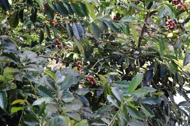 Annual Price Declines a Threat to Peru's Organic Coffee Sector