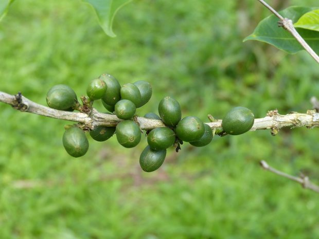 Opinion: Without Action, The Future of Coffee Is Not Secure