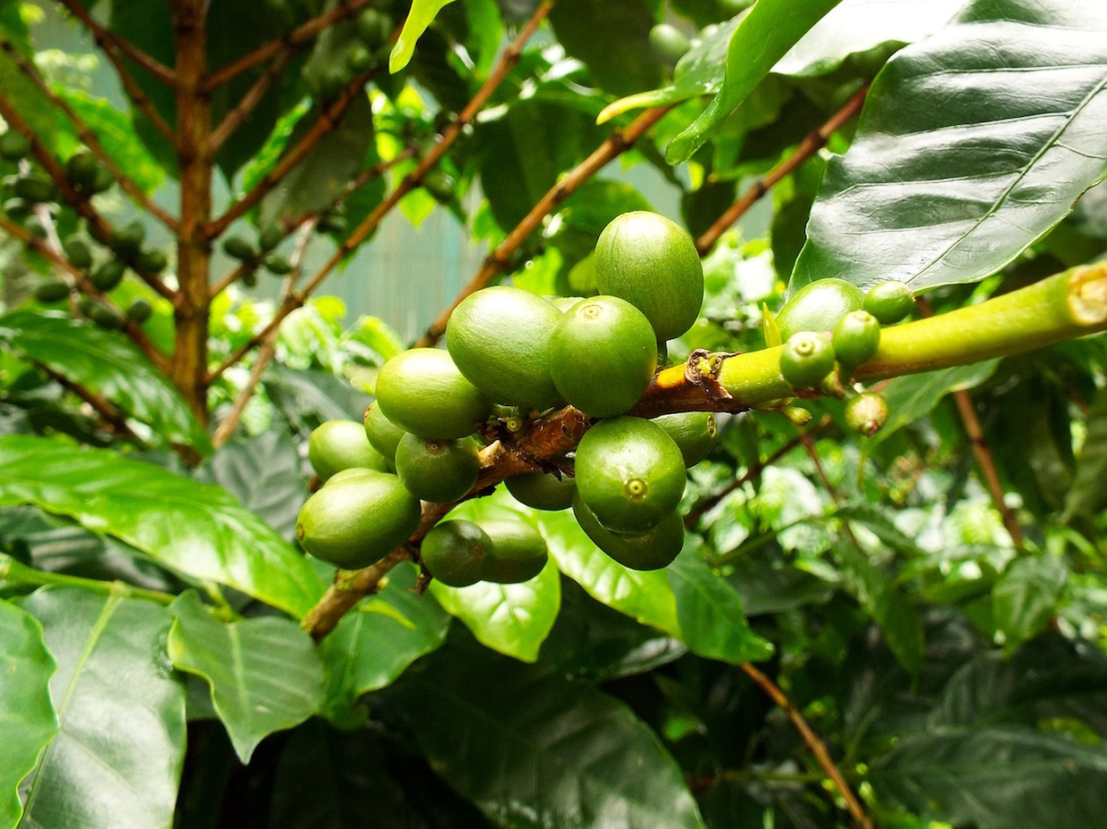 green coffee cherries on a coffee tree
