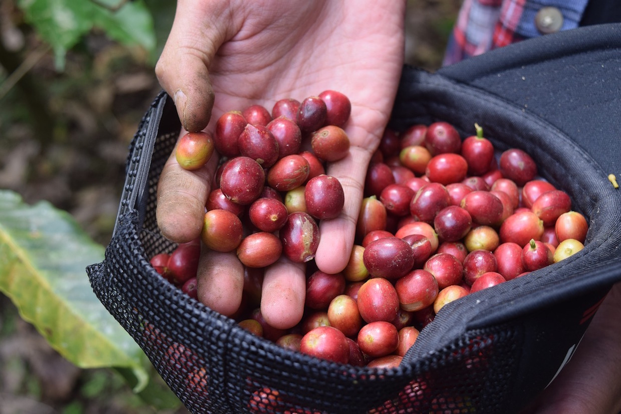 coffee cherries picked in a hat