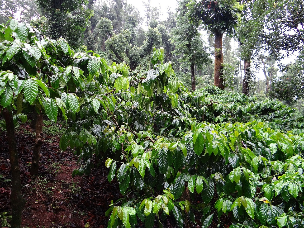 coffee-plantation-345371_1280 (2)