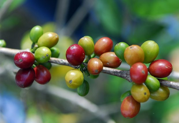 New 'Useful Plants Indicator' Shows Conservation Lacking in Coffee