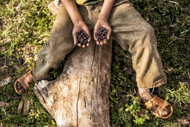 Most Wild Coffee Species, Including Arabica, Are Now in Danger of Extinction