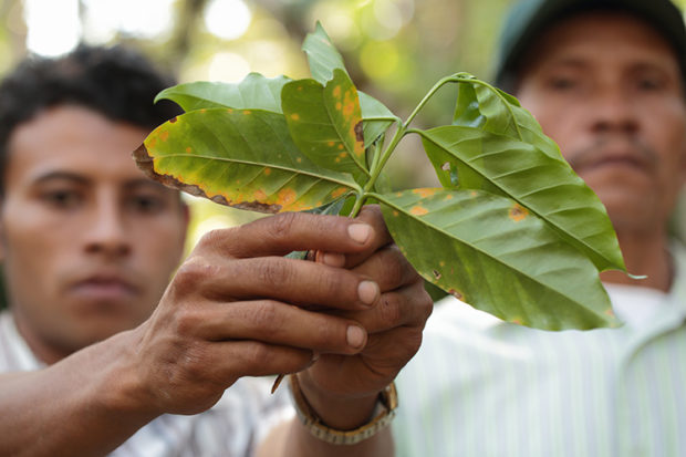 LEAF RUST PROJECT IN NICARAGUA – CATHOLIC RELIEF SERVICES – PROYECTO Puentes NICARAGUA 6740-753-0301