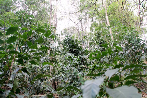 coffee_forest