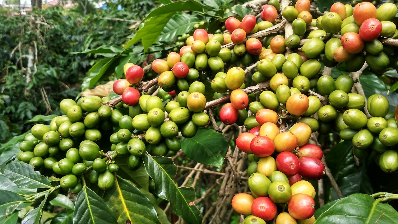 robusta coffee plant