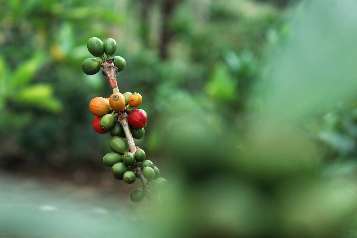 coffee_cherries_tree