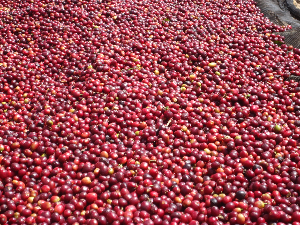 Specialty_coffee_originated_from_ethiopia