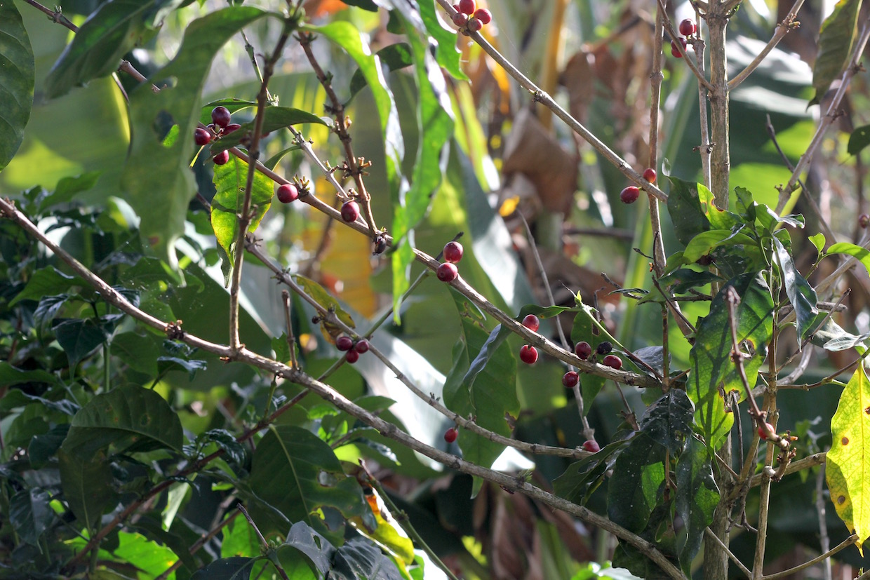 green coffee plant with red coffee cherries