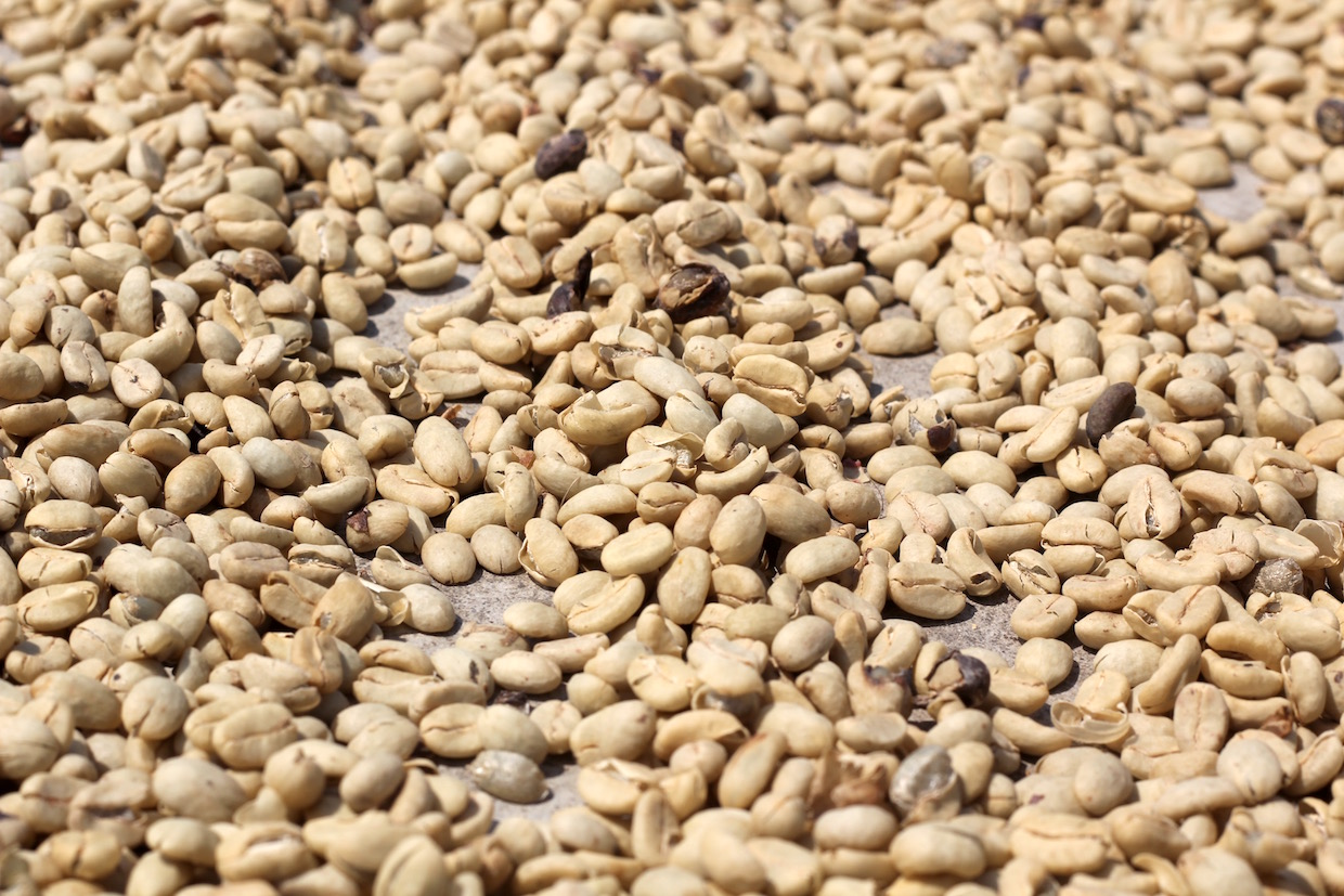 coffee in parchment drying