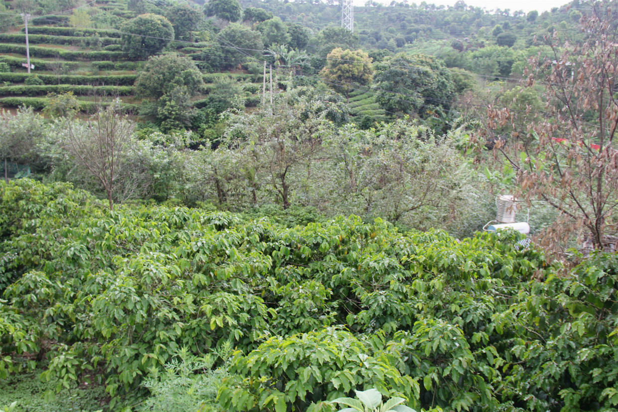 Sun-grown coffee plants in the mountains of Pu'er