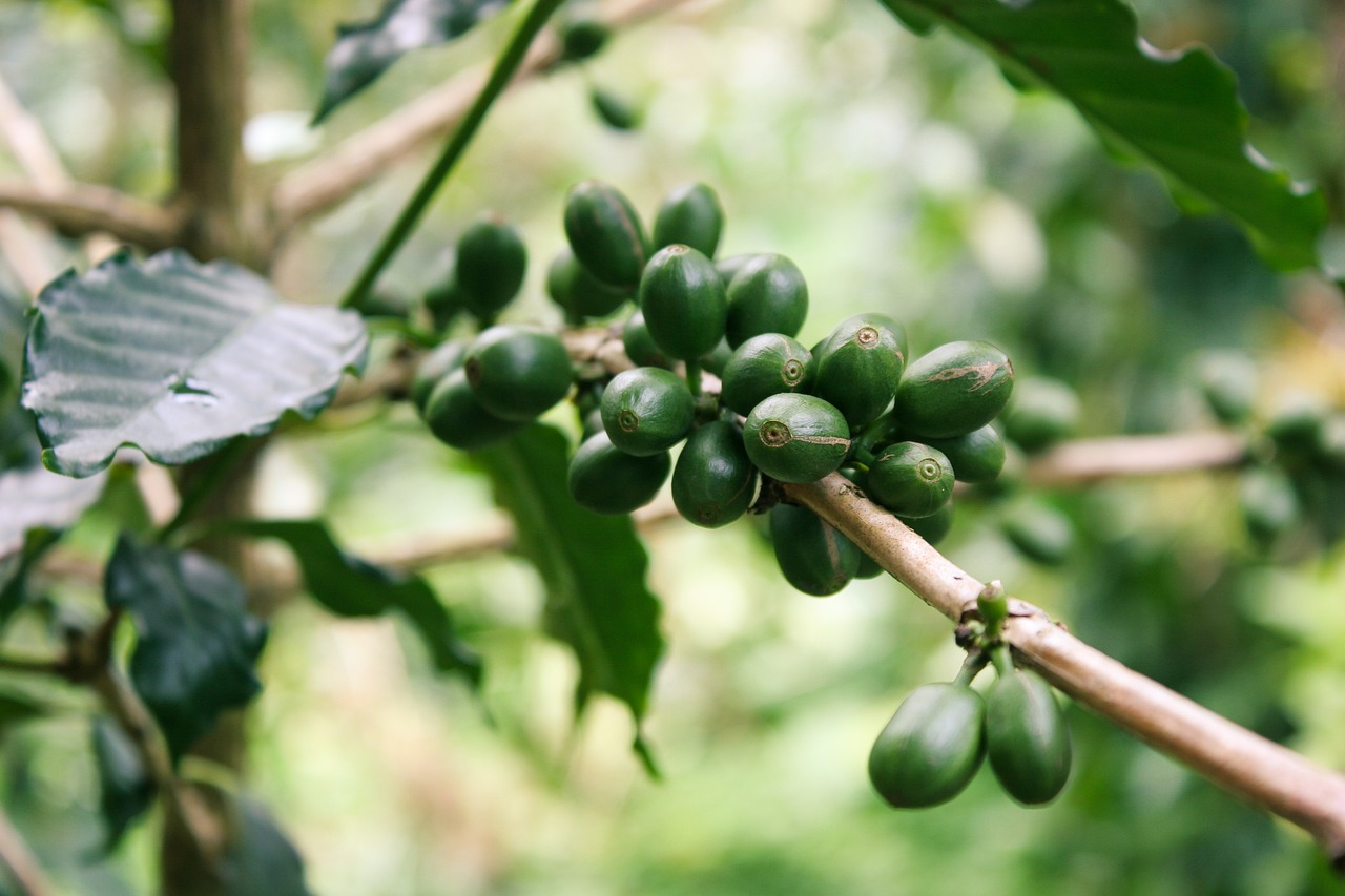 coffee farm and emigration